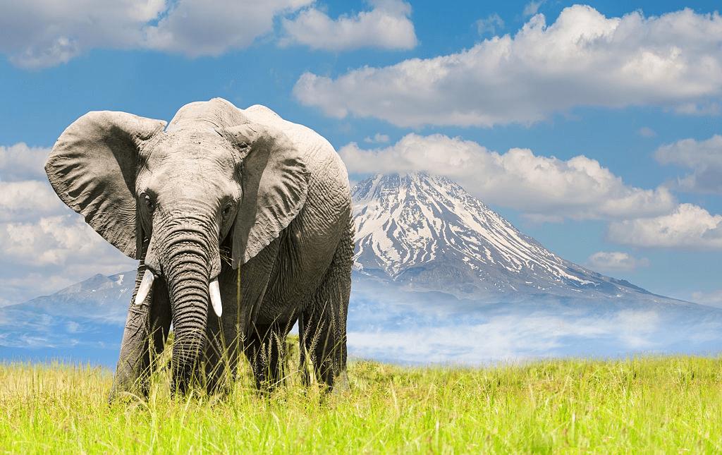 Elephant with Mt. Kilimanjaro